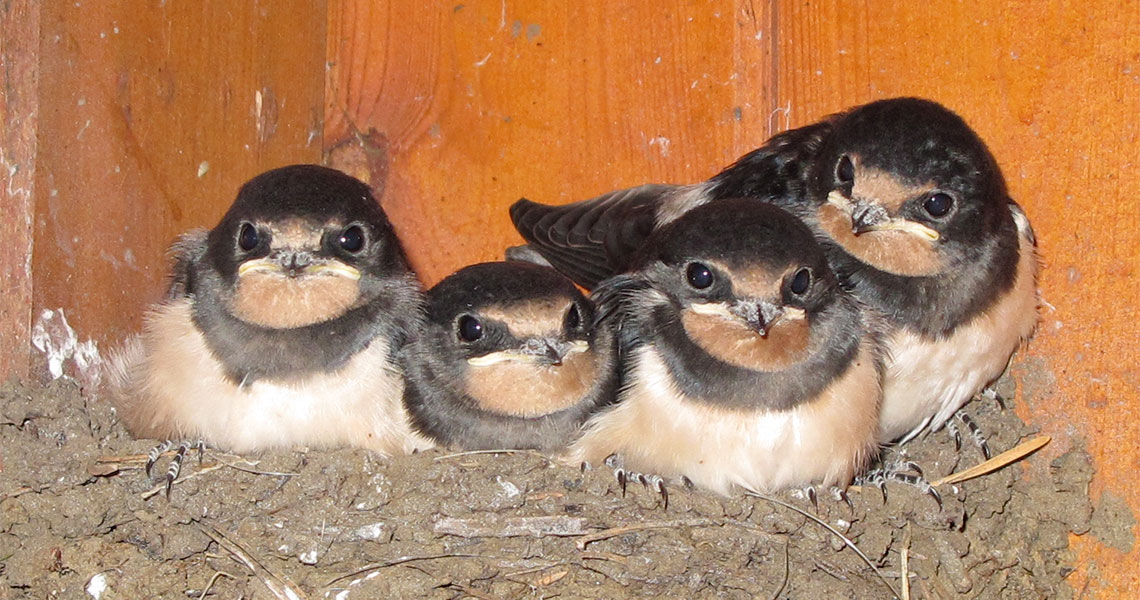 young-swallows